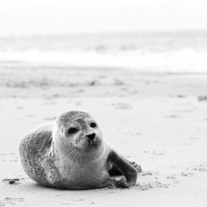 Ein Seehund direkt am Strand von Norddort