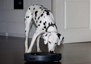 Dalmatinerhündin Emma betrachtet neugierig unseren neuen Freund, den Staubsauger Roboter von Neato